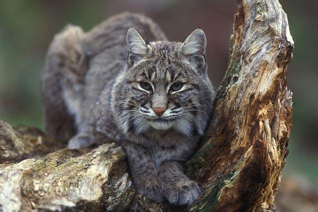 a photo of a bobcat