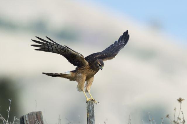 a photo of a harrier bird